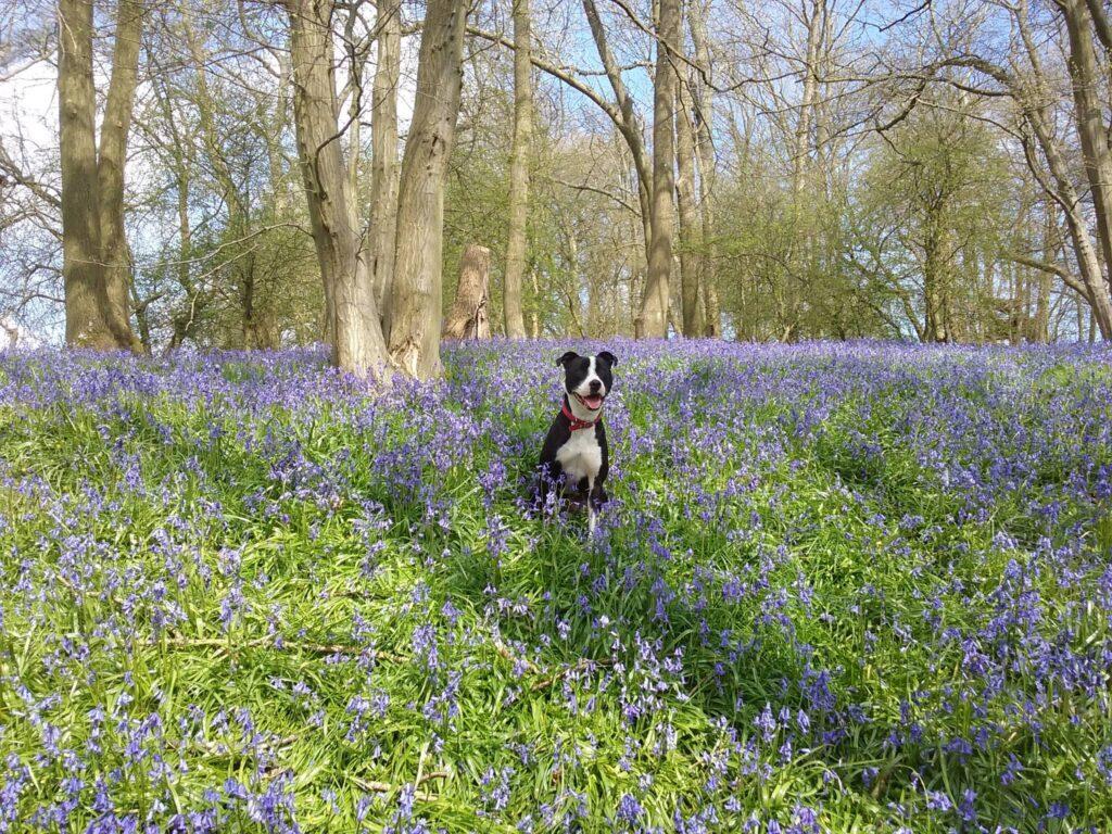 Murphy sitting in a field of purple flowers
