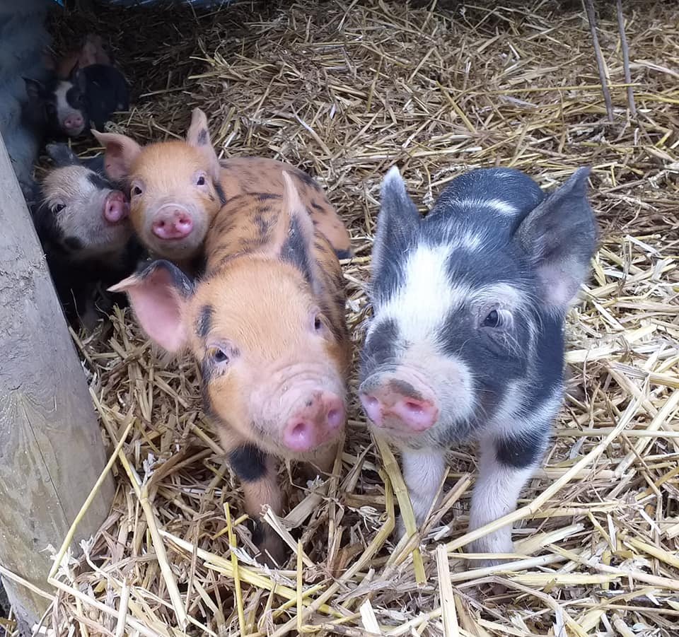 brown, grey and white piglets