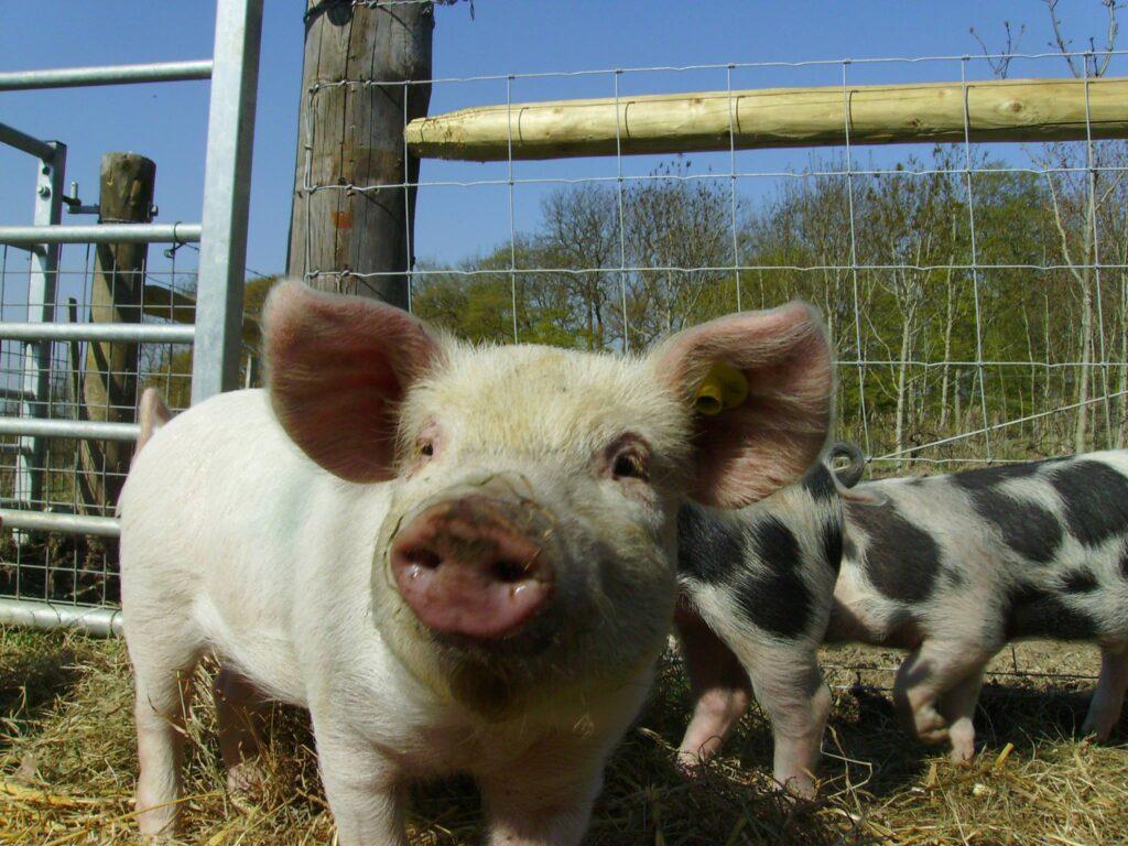 little white pig