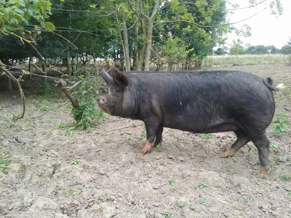 side profile of large black pig