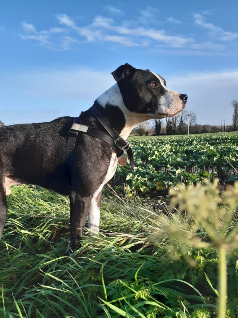 Murphy looking out across a field