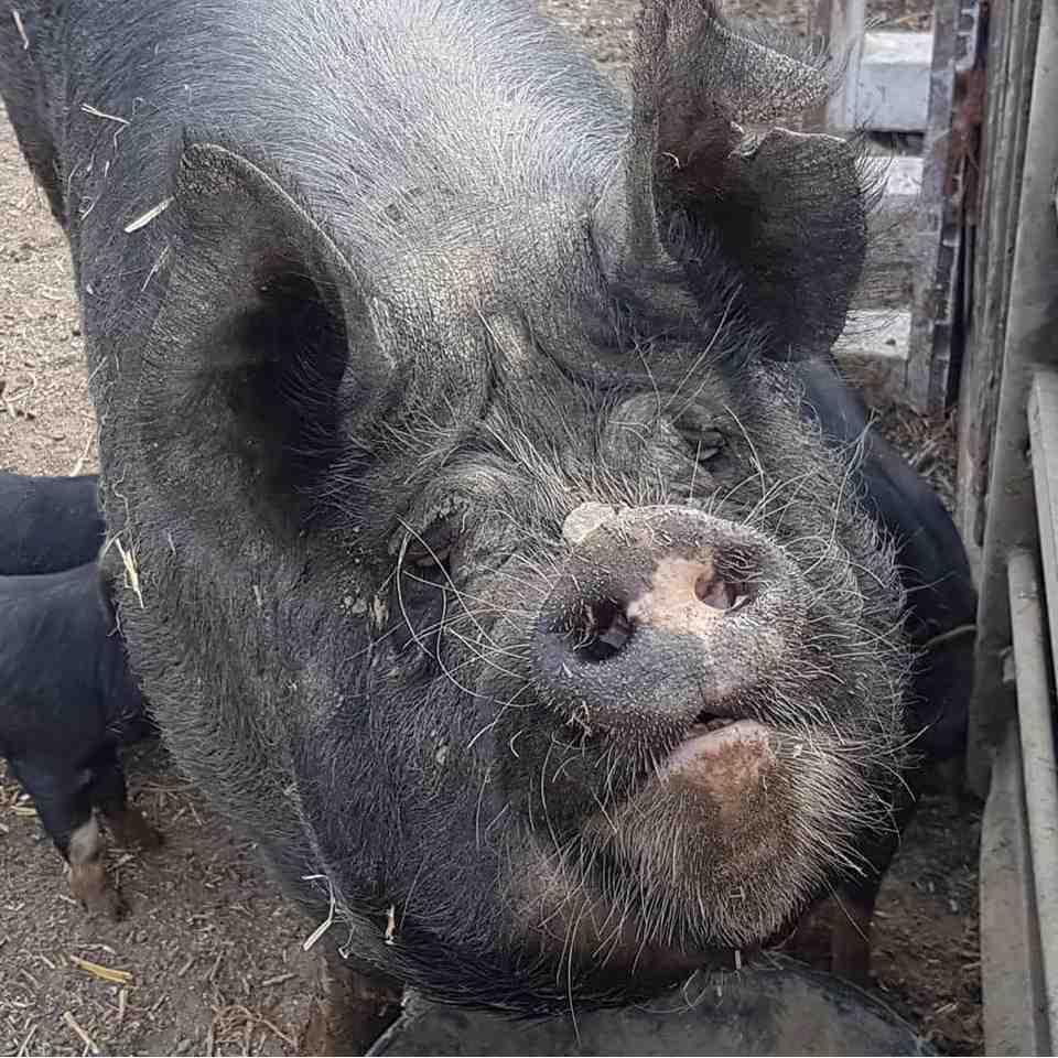 black pig looking up