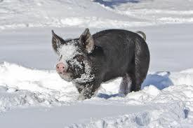 black pig in snow